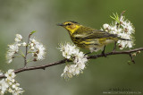Warblers of North America