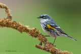 Yellow rumped warbler on green mossy perch