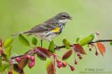 Yellow-rumped Warbler (female)on Crabapple branch