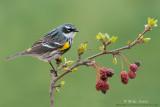 Yellow-rumped-warbler on emerging crabapple tree