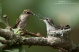 Ruby-throated Hummingbird family