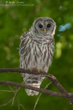 Juvenile Barred Owl in the woods