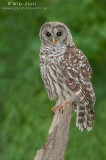 Barred-Owl on a stump
