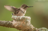 Ruby-throated Hummingbird about to fledge the nest