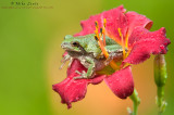 Copes Tree Frog in red flower