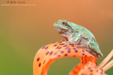 tree frog tight on asiatic lilly