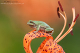 Copes Tree frog on asiatic orange lilly