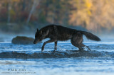 Gray Wolf crossing river in autumn