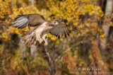 Red-tailed Hawk flies near birch tree strand