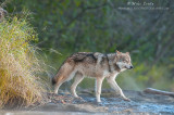 Wolf emerges from brush