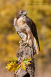 Red-tailed Hawk in Oak tree area