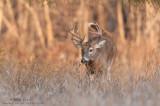Buck romps towards me in high grass