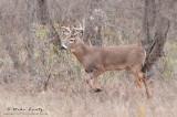 Buck on treeline