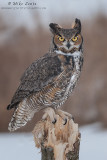 Great Horned Owl on sheared off tree