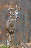 White-tailed Deer (buck) in autumn foilage