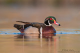 Wood duck dripping water