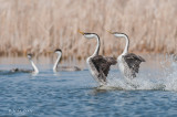Western Grebes rushing with an audience