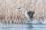 Western Grebe rushes tight to cattails
