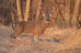 Buck in sweet light