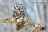 Boreal Owl on pine tree branch