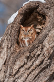 Eastern Screech owl (Red morph) in natural cavity