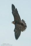 Peregrine Falcon (Tiercel) in flight
