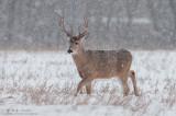 Buck walks in snowfall