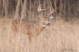 Buck emerging from tall grasses