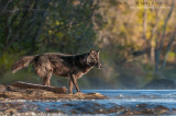 Wolf about to cross river