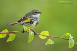 Yellow-rumped warbler on emergent greens