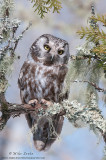 Boreal Owl in deep woods