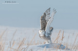 Snowy Owl wings up in cattails