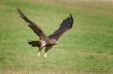 Golden Eagle in Flight across grasses