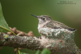 Ruby-throated Hummingbird baby relaxed in nest cup