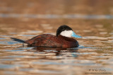 Ruddy duck drake on calm waters