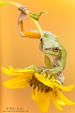 Tree frog tight on bent yellow flower