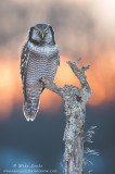 Northern Hawk Owl at sunset