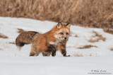 Red fox bounds across snowy field