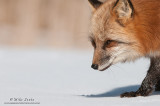 Red Fox head peek