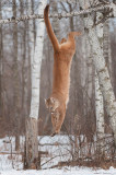 Cougar jumps from Birch