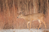 White-tailed deer strides in willows