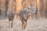 White-tailed deer combo