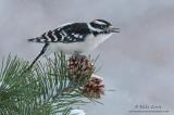 Downy Woodpecker in snowfall