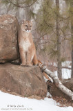 Cougar on rocks in snow