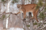 Cougar up in pine tree