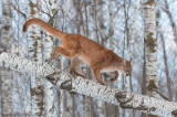 Cougar navigates downed birch