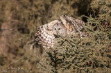 Barred Owl wings up leaving pines