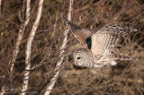 Barred owl flies down the tree line