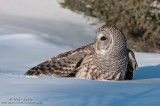 Barred owl on snow