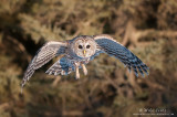 Barred Owl flight from the darkness